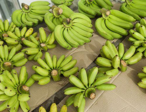 Visite de l'exposition sur la banane à Gembloux