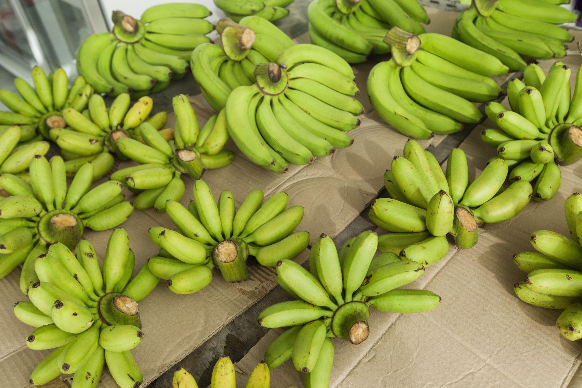 bananes-gembloux-laboratoire