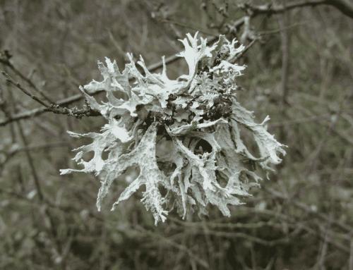 Une journée à la roseraie : Les lichens