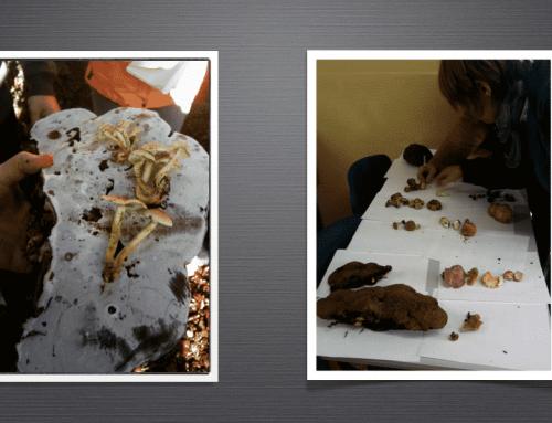 Les champignons du bois de Stambruges
