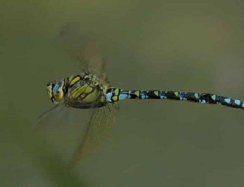 Identification d'une libellule