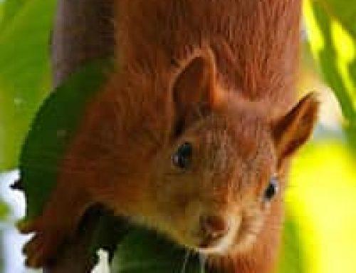 L'écureuil commun
