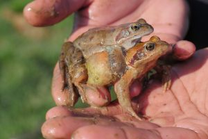 accouplement-grenouille