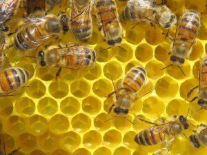 abeille-ouvriere