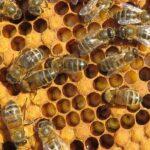 abeilles-ouvrieres