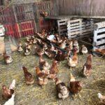 poules-bio-dour